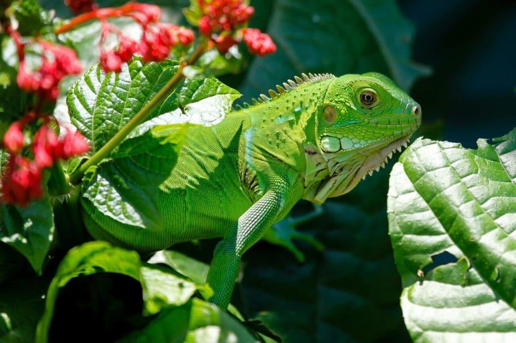 que comen las iguanas verdes