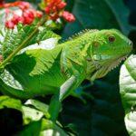 ¿Que Comen las Iguanas Verdes? – Lista Completa de Alimentos-