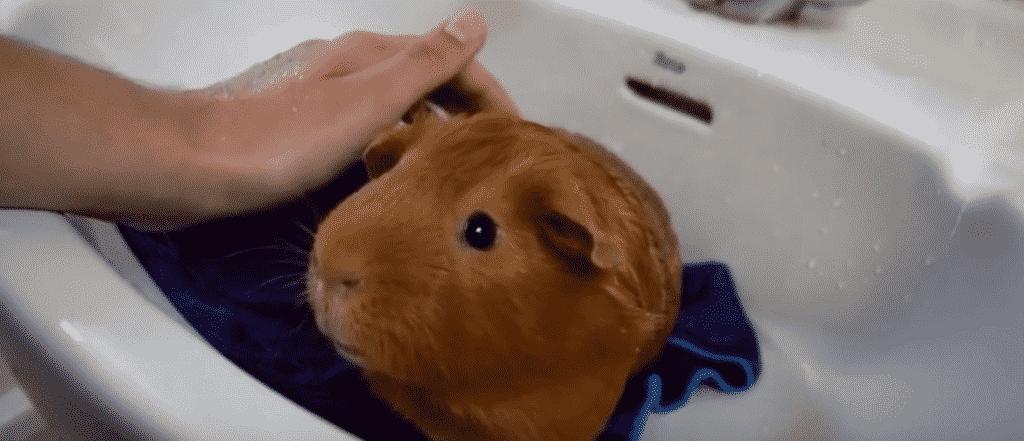 Como se bañan los cuyos