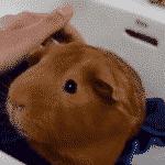 ¿Cómo se bañan los Cuyos? Técnicas Infalibles