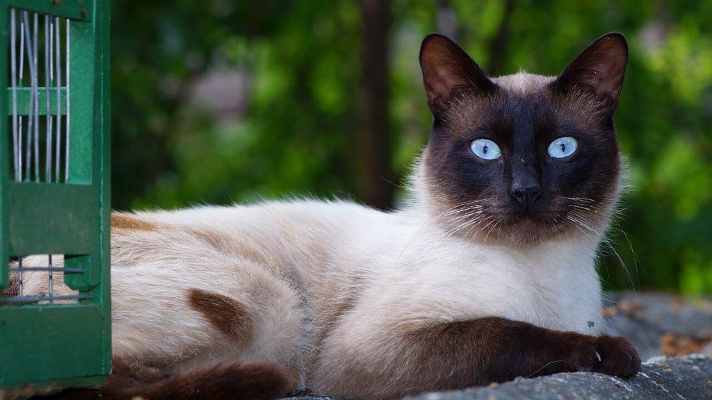 Gato Siames y su Caracter
