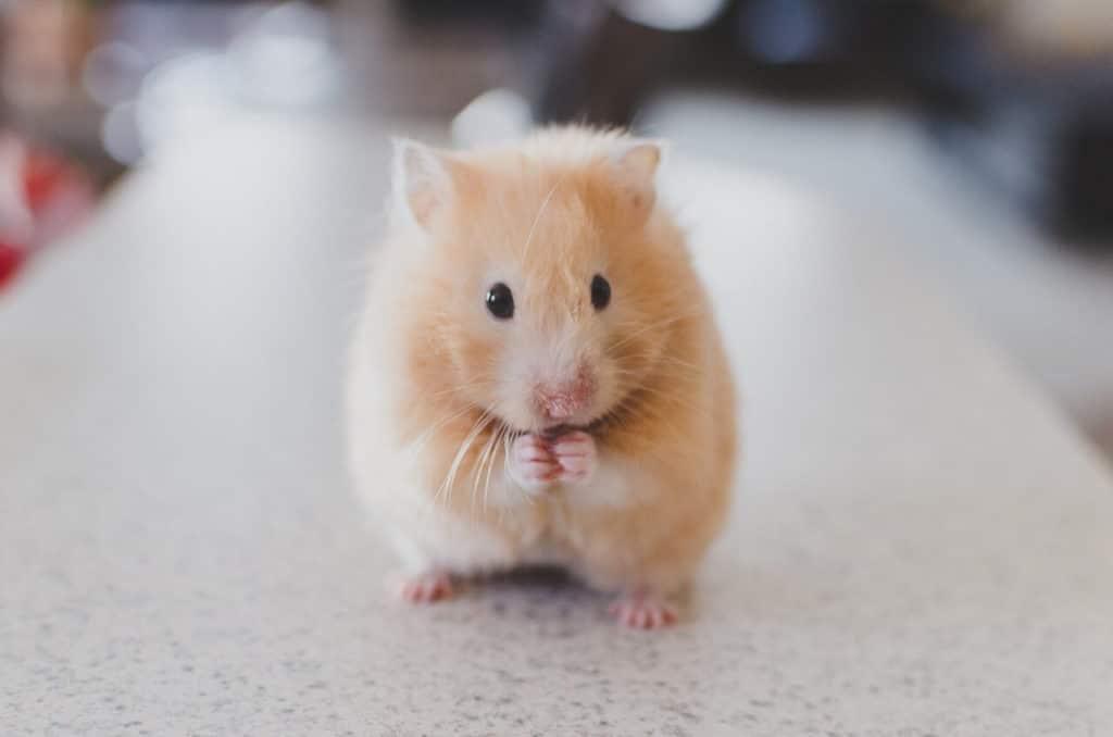 enfermedades hamsters comunes