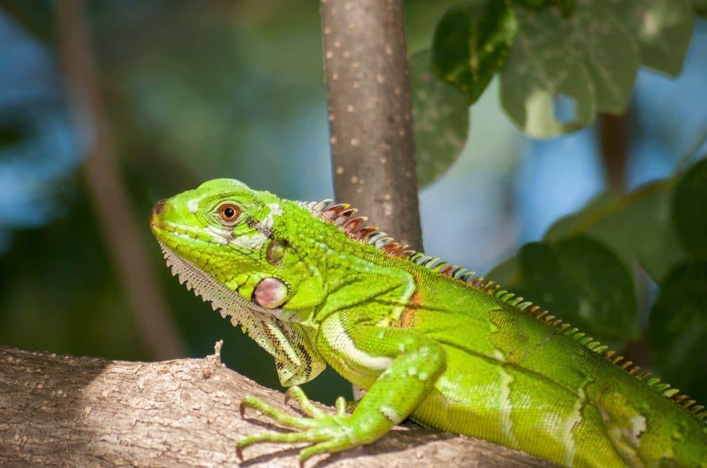 Terrario Para Tu Iguana
