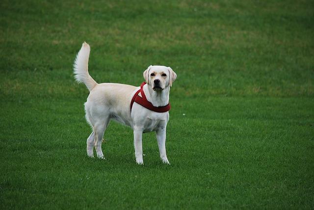Enfermedades Labrador