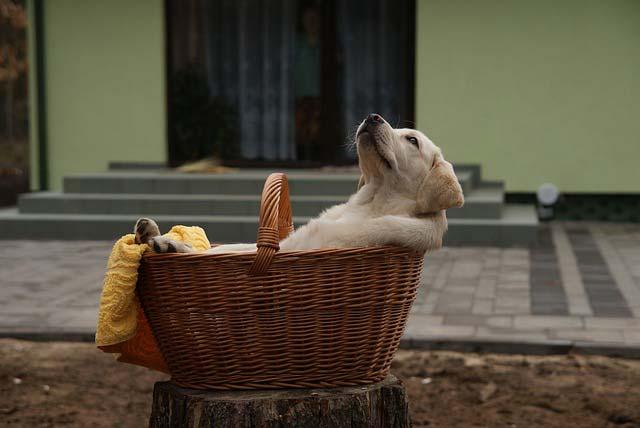 Caracteristicas Labrador Retriever