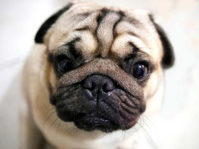 Фото мопсов прикольные  animalsfotocom