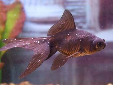 Ichthyophtiriosis en peces