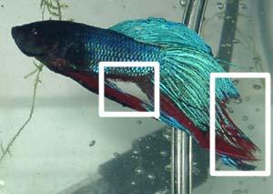Fisura o podedumbre de aleta pez betta