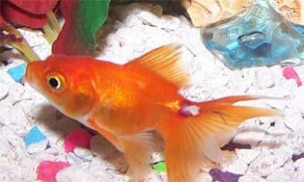 Enfermedades del pez betta fotos s ntomas tratamiento for Enfermedades de peces goldfish