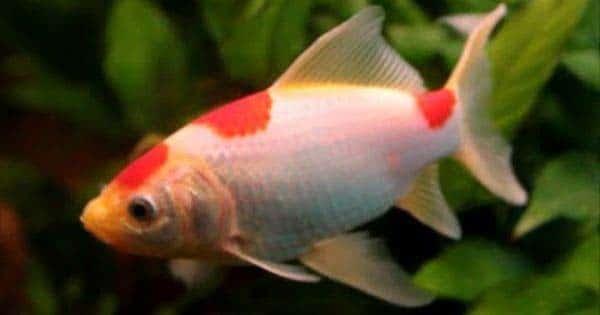 Grande hinchados ojo pez