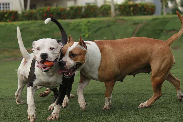 Pitbull Perro Cuidados