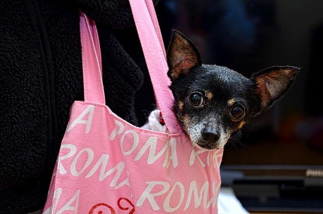 Nombres para perritas Chihuahua