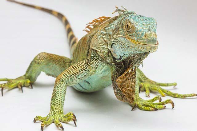 Nombres para Iguanas Famosos