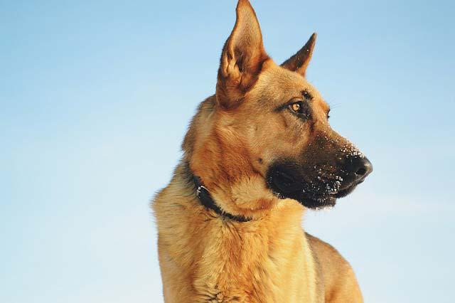 Nombres para perros pastor aleman