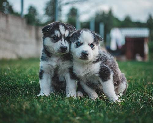 101 Nombres Para Perros Huskys Cálidos Y Bonitos